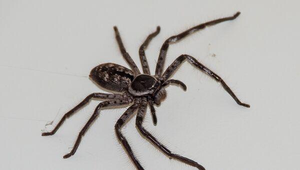 Una araña cangrejo - Sputnik Mundo
