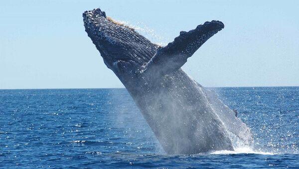 Una ballena jorobada (archivo) - Sputnik Mundo