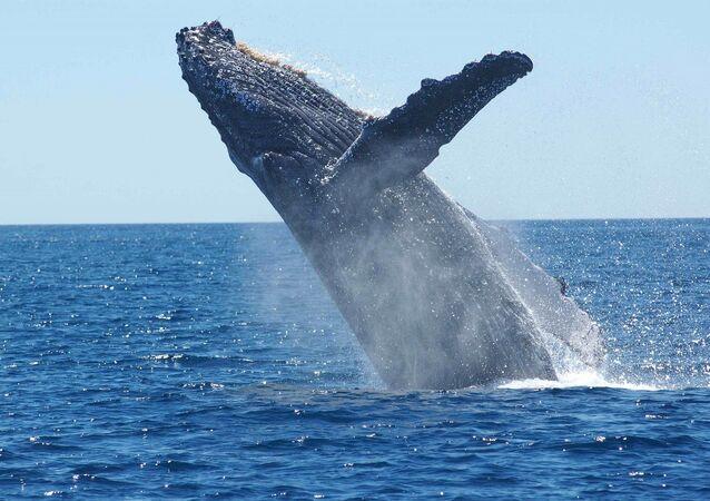 Una ballena jorobada (archivo)