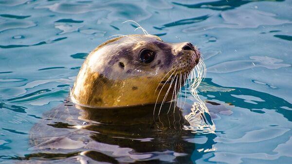 Una foca gris - Sputnik Mundo
