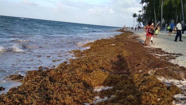Sargazo en las playas del Caribe - Sputnik Mundo