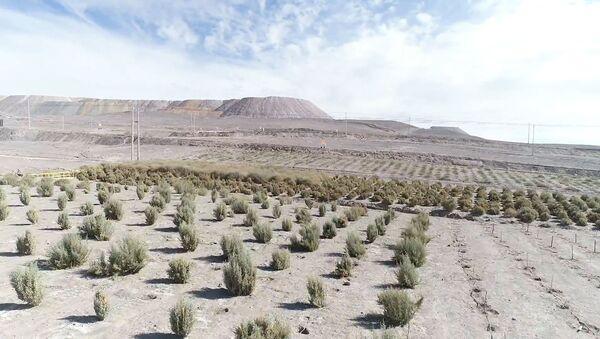 Un bosque en pleno desierto: cómo Chile busca reforestar el Atacama - Sputnik Mundo