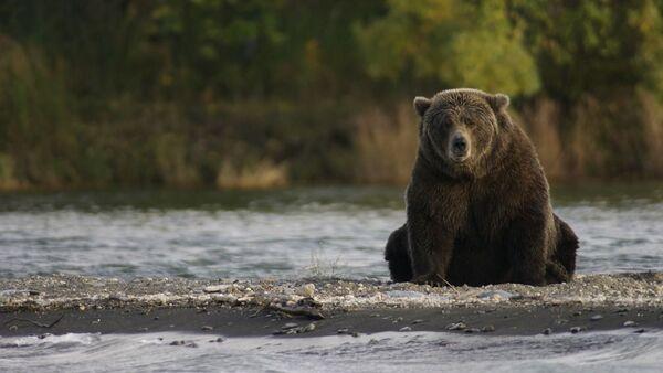 Un oso (imagen referencial) - Sputnik Mundo