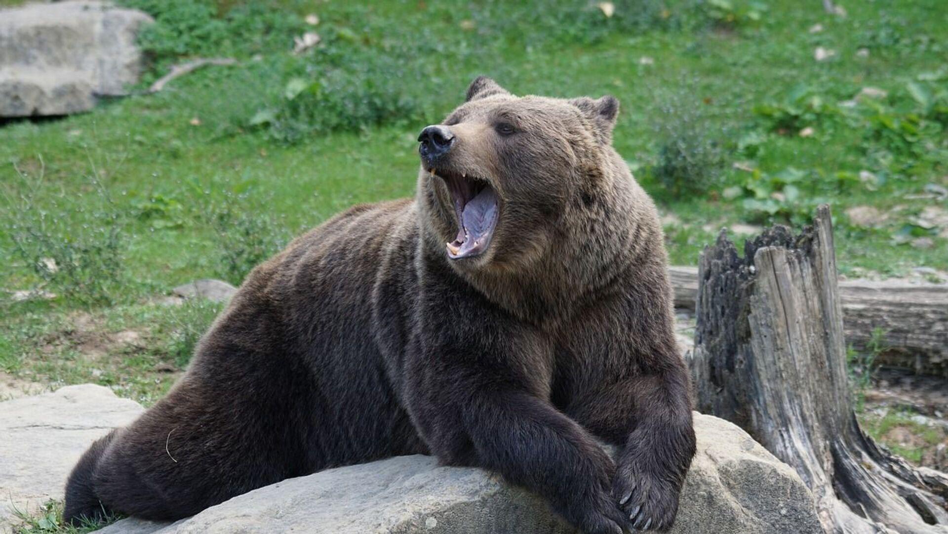 Un oso, referencial - Sputnik Mundo, 1920, 09.05.2021
