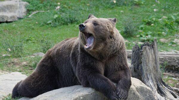 Un oso, referencial - Sputnik Mundo