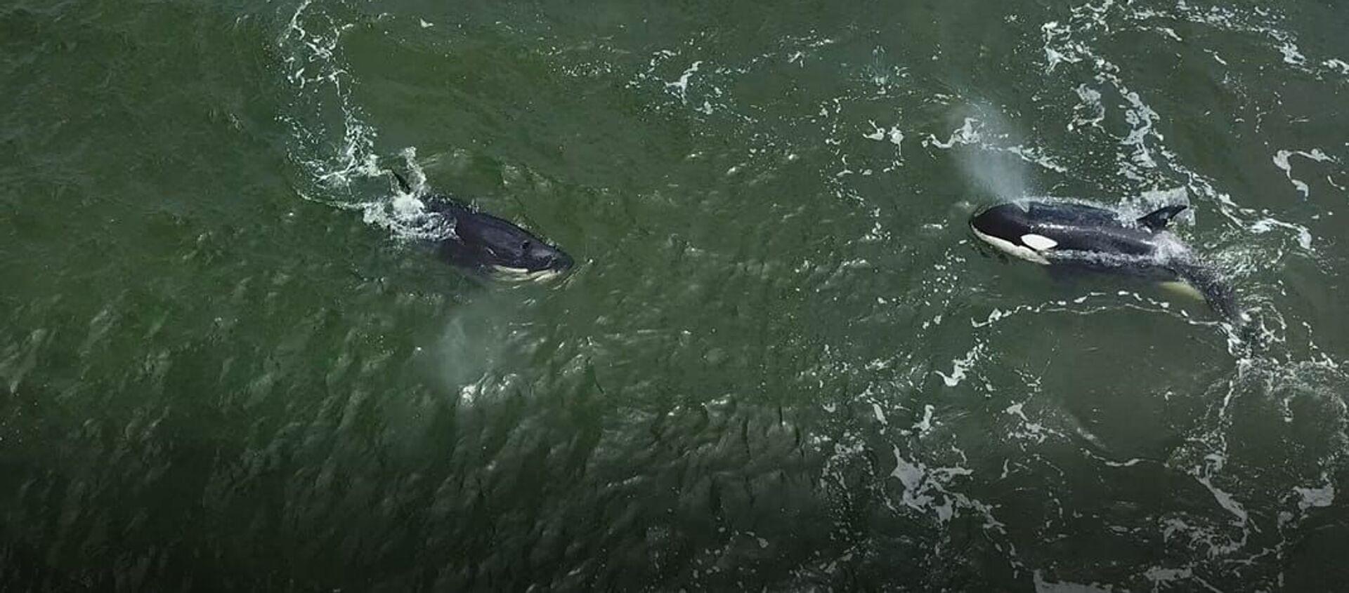 Orcas y ballenas blancas fueron liberadas en el Lejano Oriente ruso - Sputnik Mundo, 1920, 28.06.2019