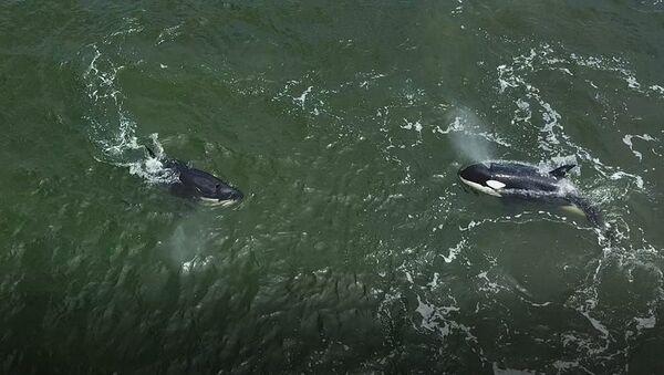 Orcas y ballenas blancas fueron liberadas en el Lejano Oriente ruso - Sputnik Mundo