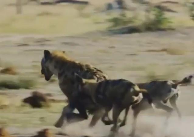 Hiena versus perro salvaje: ¿quién gana en una carrera?
