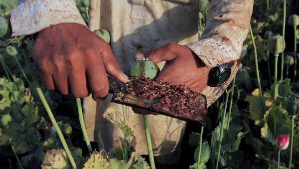 Un agricultor de amapolas recoge el opio crudo de una cabeza. - Sputnik Mundo