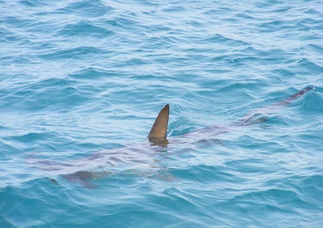 Un tiburón, referencial