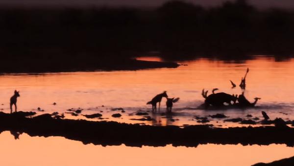 Perros salvajes se comen un impala - Sputnik Mundo