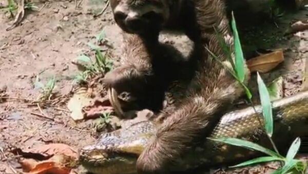 El encuentro de un perezoso con una anaconda pone los pelos de punta  - Sputnik Mundo
