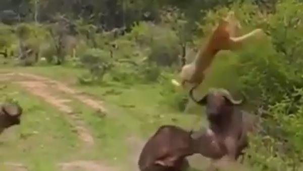 Una leona ataca a un búfalo cuando llegan refuerzos - Sputnik Mundo