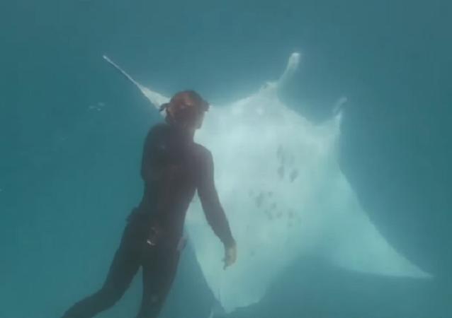El emocionante momento en el que una mantarraya gigante pide ayuda a unos buzos
