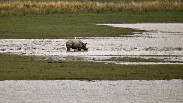 Rinoceronte en el parque nacional de Kaziranga, la India - Sputnik Mundo