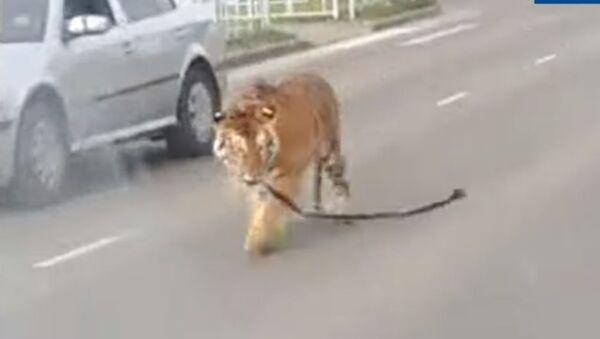 Un tigre recorre las calles de Ivánovo, en Rusia - Sputnik Mundo