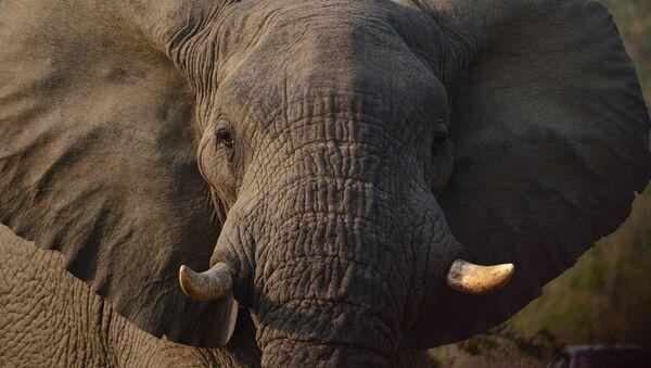 Un elefante - Sputnik Mundo