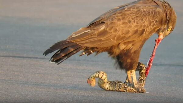 Un águila se come a una serpiente - Sputnik Mundo