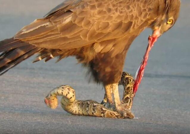 Un águila se come a una serpiente