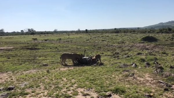 Una cebra cae en la emboscada de dos leonas  - Sputnik Mundo