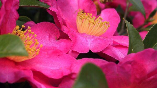 Camellia  - Sputnik Mundo