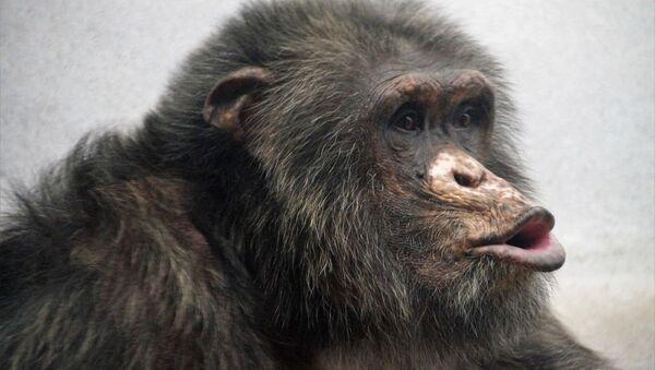 Chimpancé - Sputnik Mundo