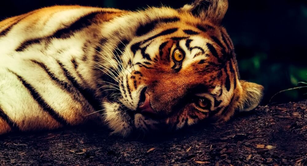 Un tigre