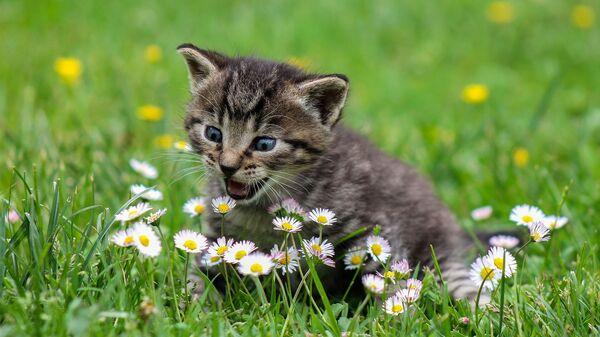Un gato pasea por un campo de flores  - Sputnik Mundo