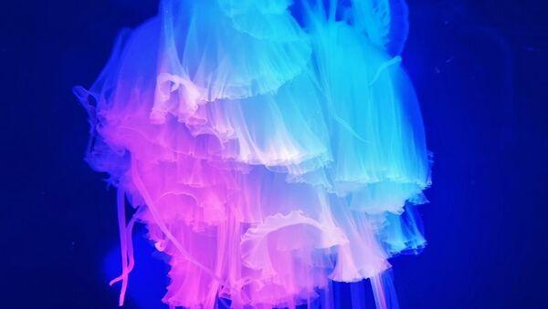 La medusa 'pink meanie' sudafricana - Sputnik Mundo