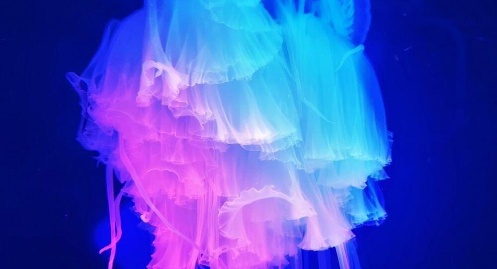 La medusa 'pink meanie' sudafricana