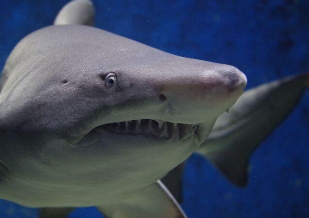 Un tiburón