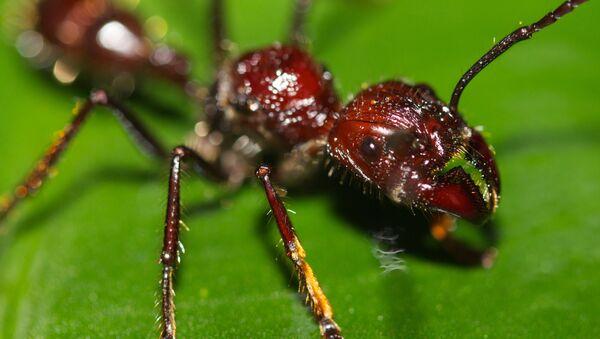 La 'hormiga bala' (Paraponera clavata) - Sputnik Mundo
