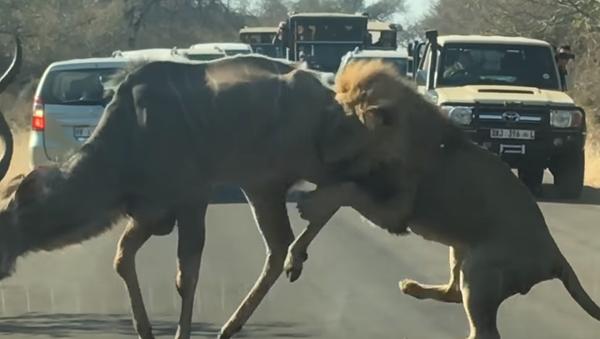 Un león decide cazar un antílope en la carretera frente a una decena de autos - Sputnik Mundo