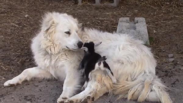 ¡Pura ternura! Un perro de montaña cuida a unos cabritos - Sputnik Mundo