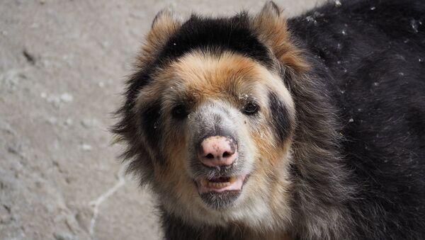 Un oso andino. Imagen referencial - Sputnik Mundo