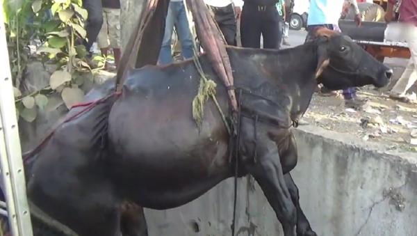 El dramático rescate de una vaca atrapada - Sputnik Mundo