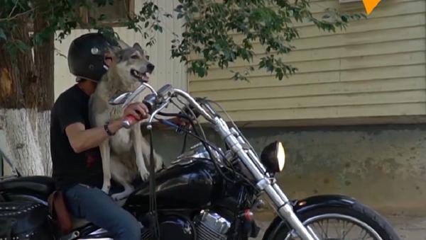 Así es Muja, la perra que se cree motociclista  - Sputnik Mundo
