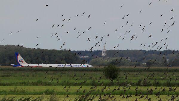 Airbus 321de la aerolínea Ural Airlines tras un aterrizaje de emergencia - Sputnik Mundo