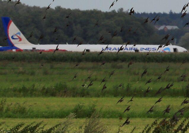 Airbus 321de la aerolínea Ural Airlines tras un aterrizaje de emergencia
