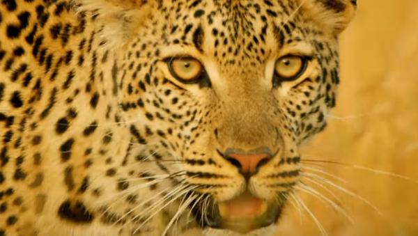Los leopardos ni se pueden acercar a este animal - Sputnik Mundo