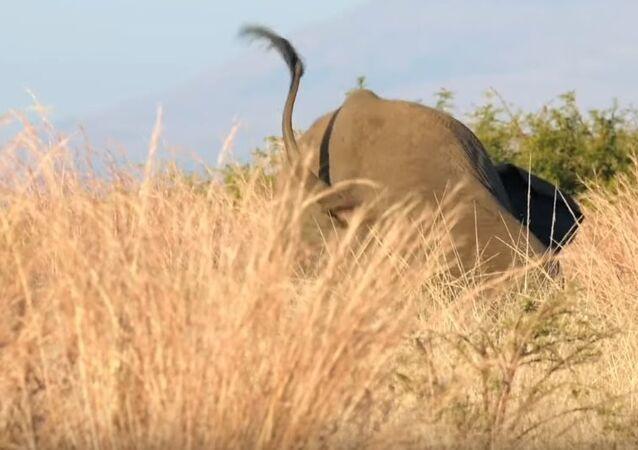 Tropezón de un elefante