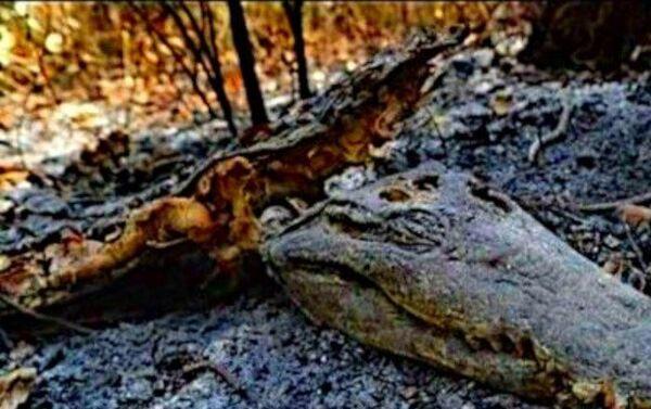 Animales muertos como consecuencia de los incendios en la selva amazónica - Sputnik Mundo