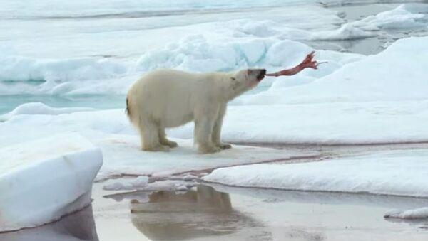Crueles juegos del Ártico: un oso polar se divierte con su presa - Sputnik Mundo