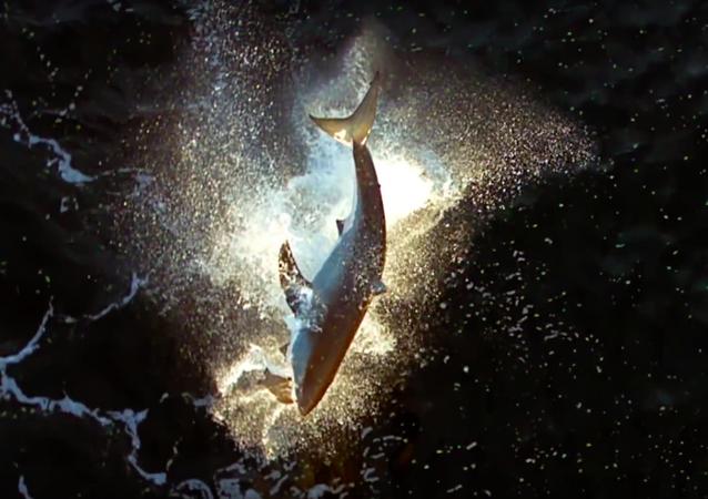 El salto de ataque de un tiburón blanco, a vista de pájaro