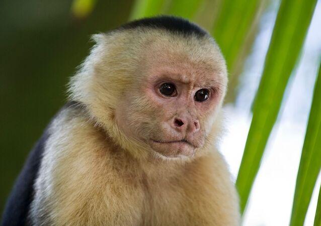 Un mono capuchino (archivo)