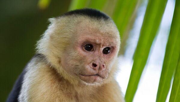 Un mono capuchino (archivo) - Sputnik Mundo