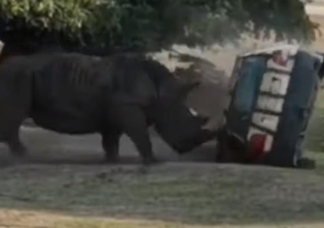 La furia de un rinoceronte, en vivo