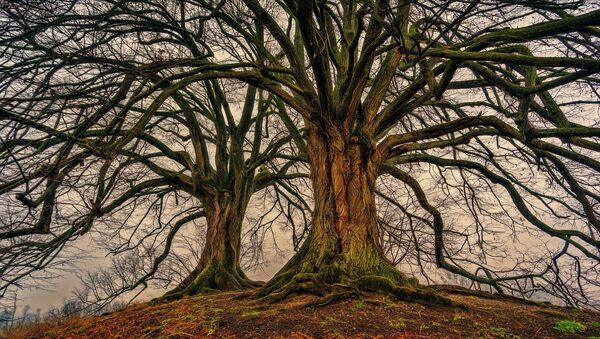 Árboles, árbol (imagen referencial) - Sputnik Mundo