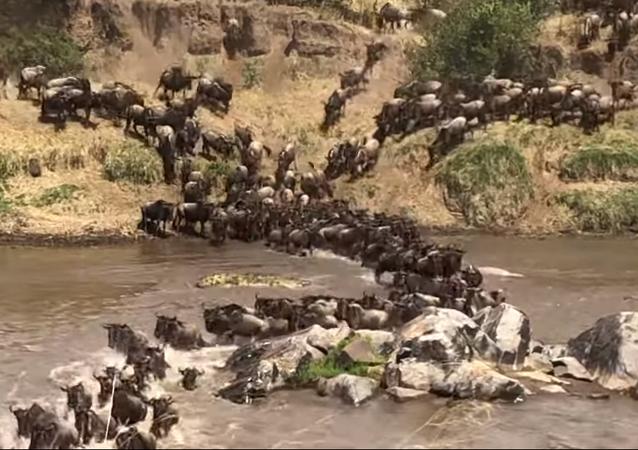 Un cocodrilo ataca a una manada de ñus
