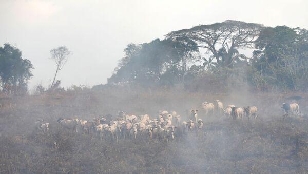 Cría de ganado en la Amazonía - Sputnik Mundo